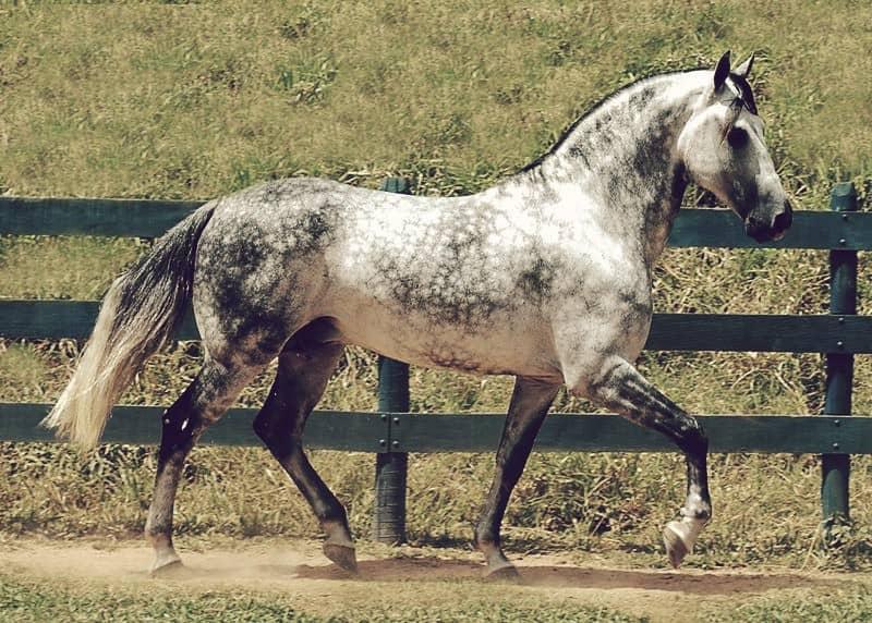 Uno de los más grandes, el caballo Florida Cracker