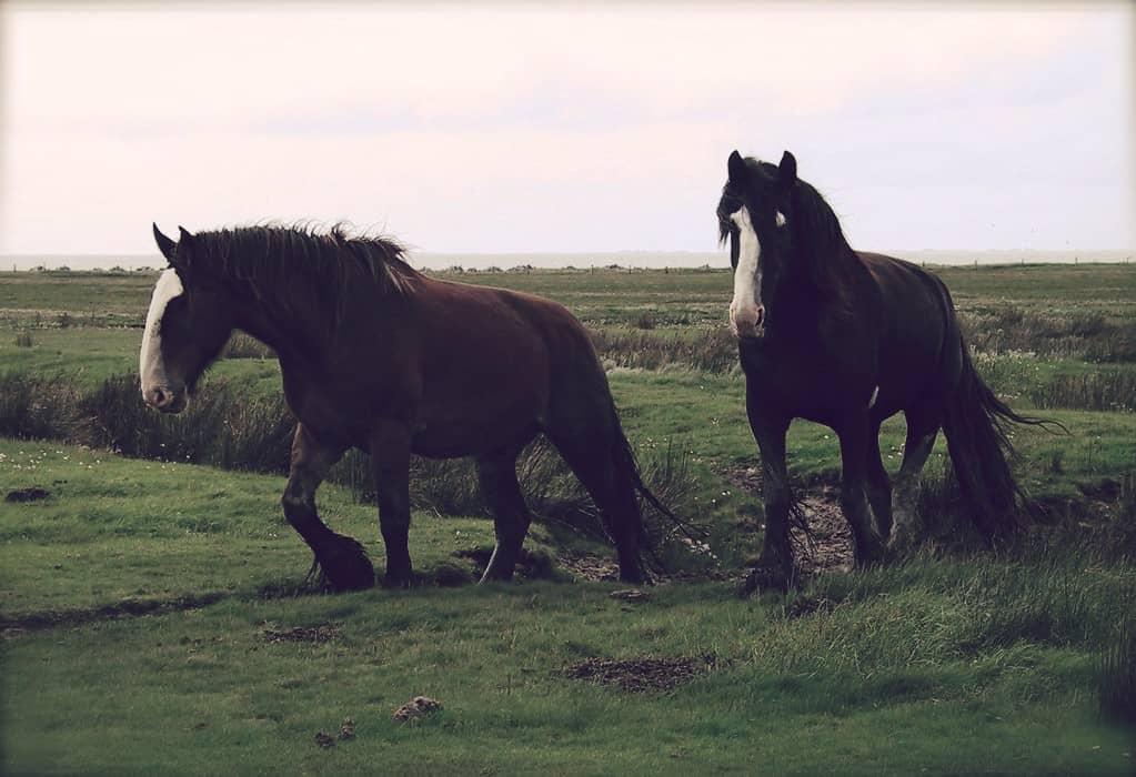 Shire, el caballo más grande del mundo