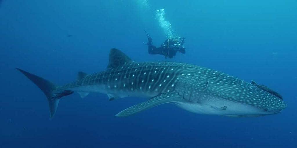 Tiburón Ballena, el más grande del mundo con vida