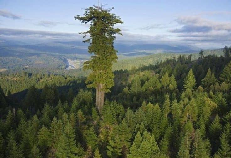 Hyperion, el árbol más grande del mundo