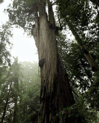 Stratosphere Giant, el segundo árbol más grande del mundo