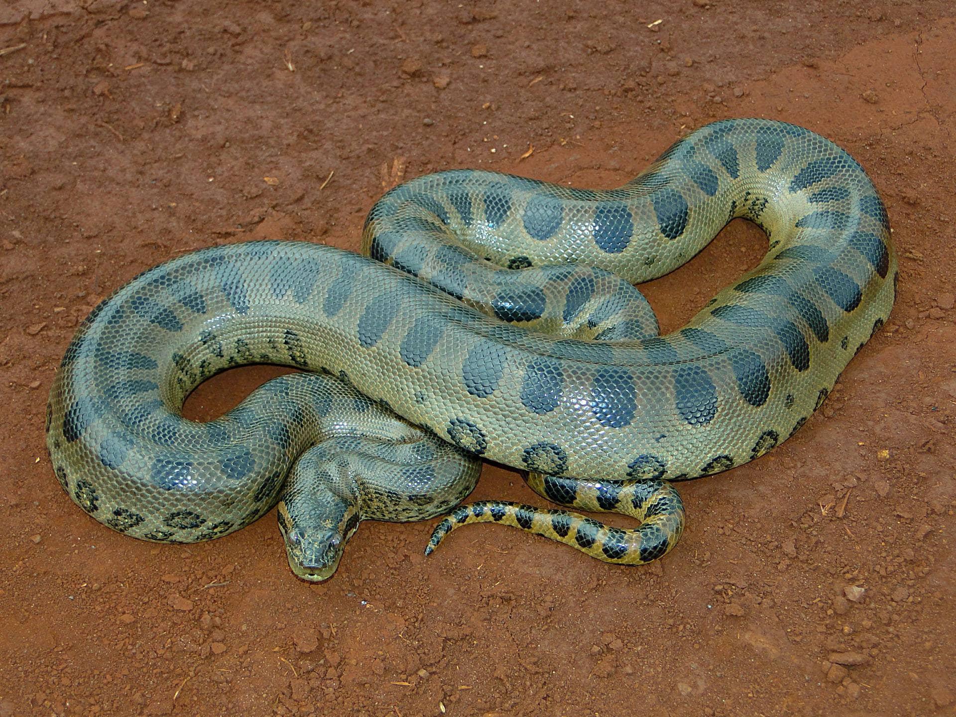 Anaconda verde, la serpiente más grande del mundo.
