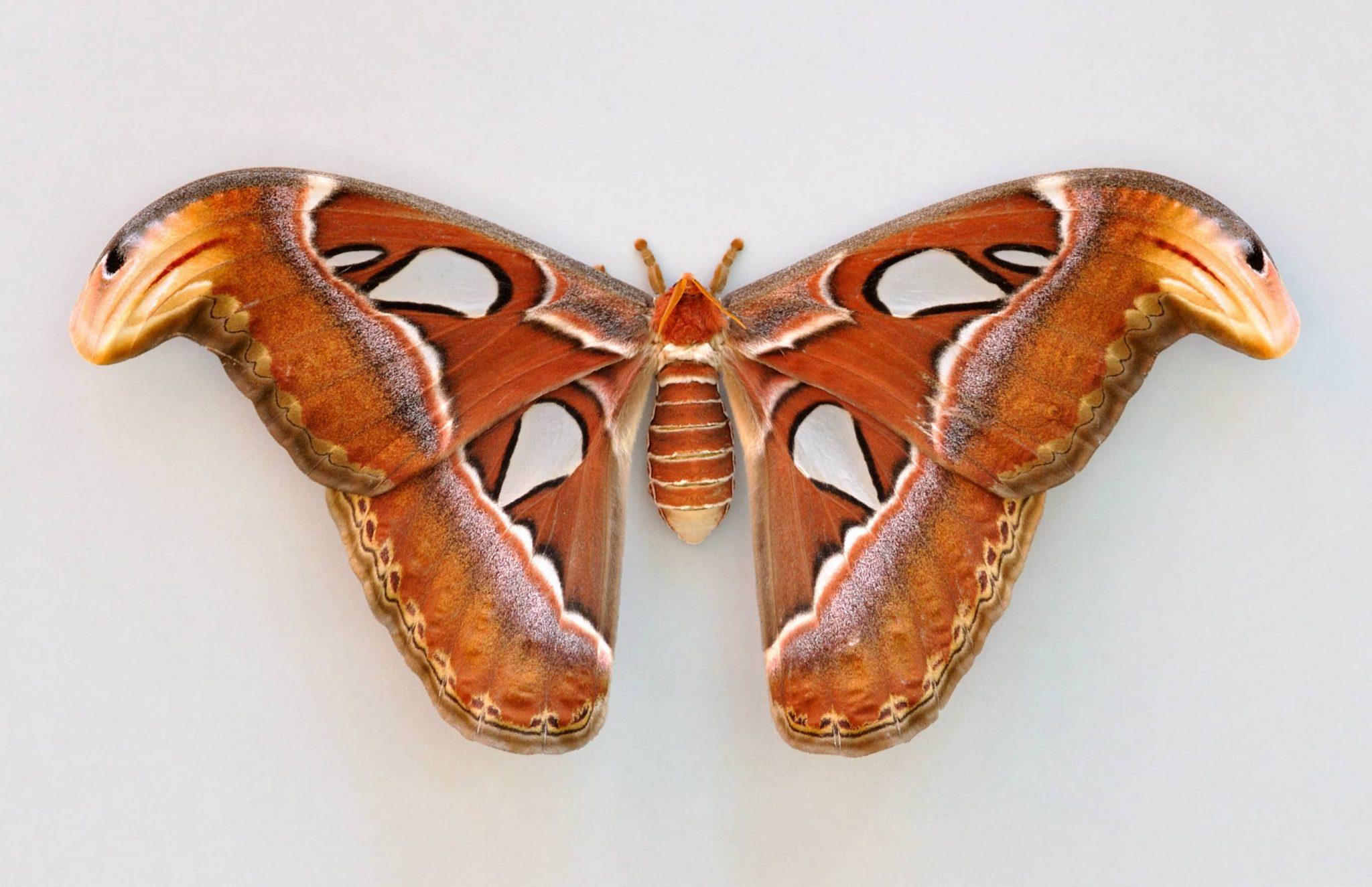 Mariposa Atlas (Attacus atlas), el segundo insecto más grande del mundo.