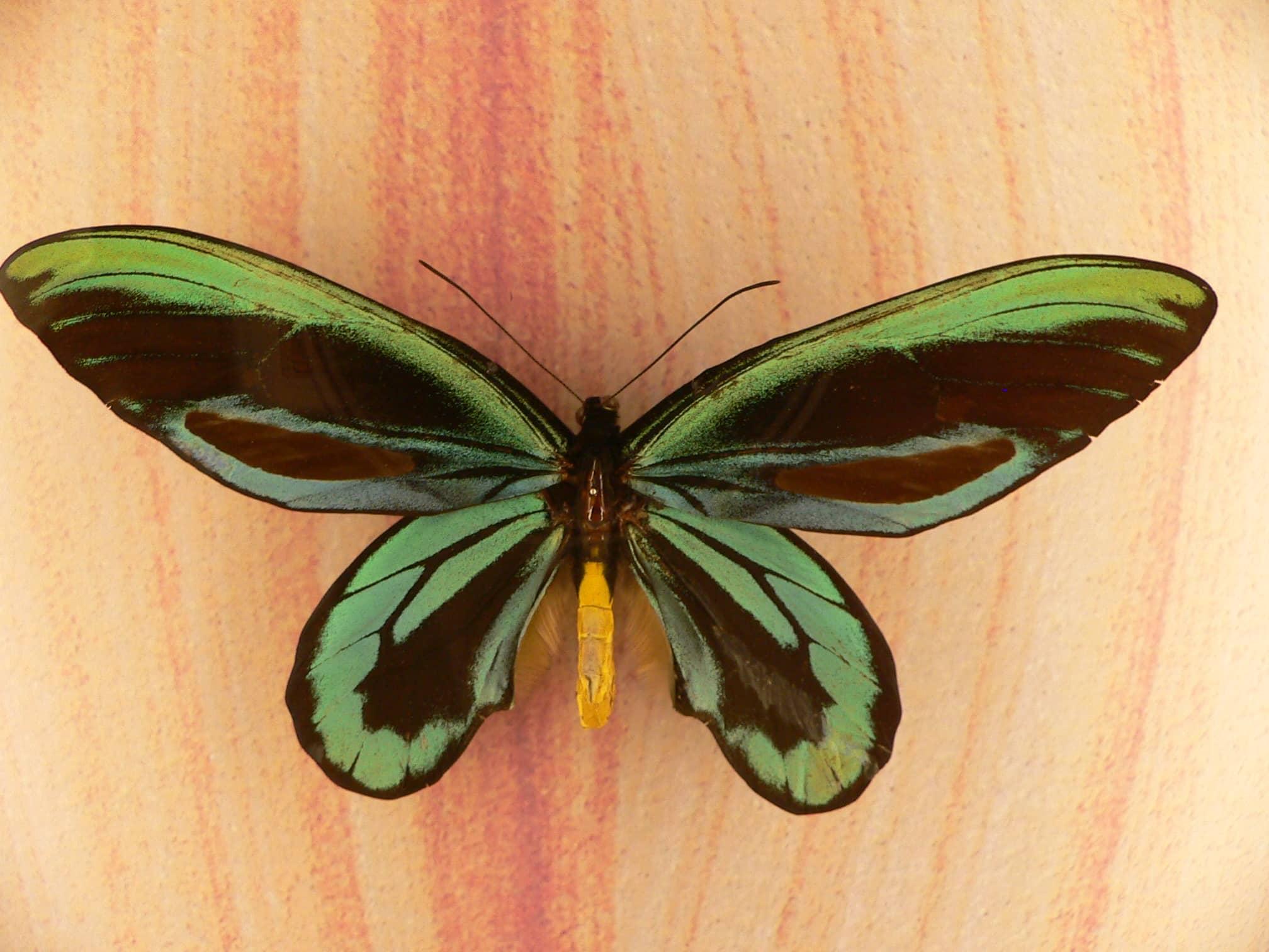 Mariposas alas de pájaro (Ornithoptera alexandrae)
