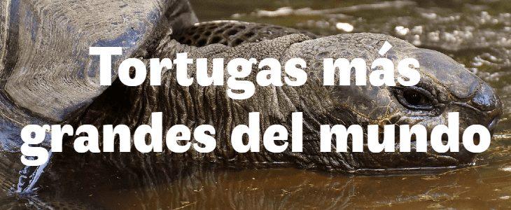 Las tortugas más grandes del mundo.