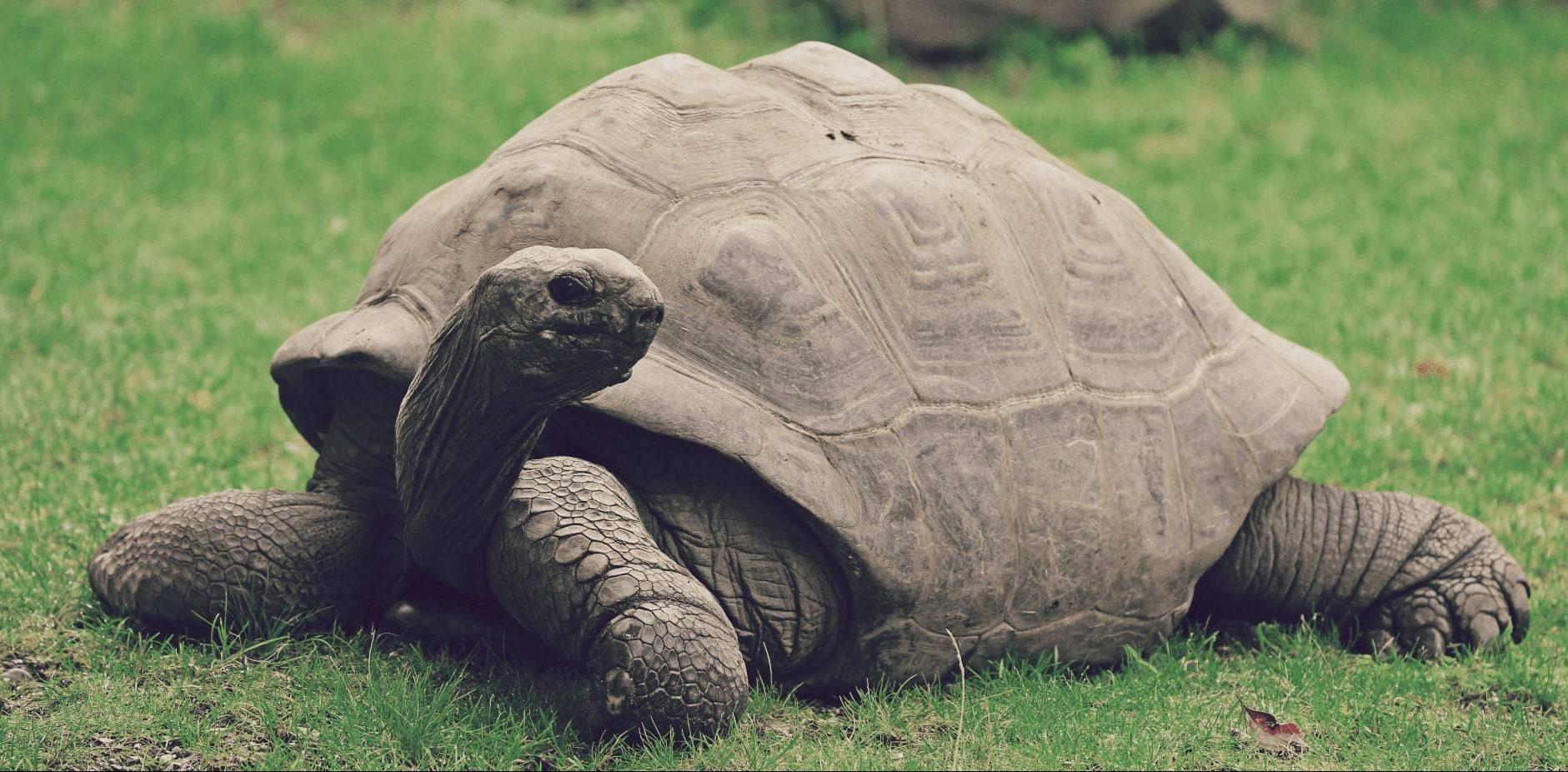 Tortuga gigante de Aldabra (Aldabrachelys gigantea)