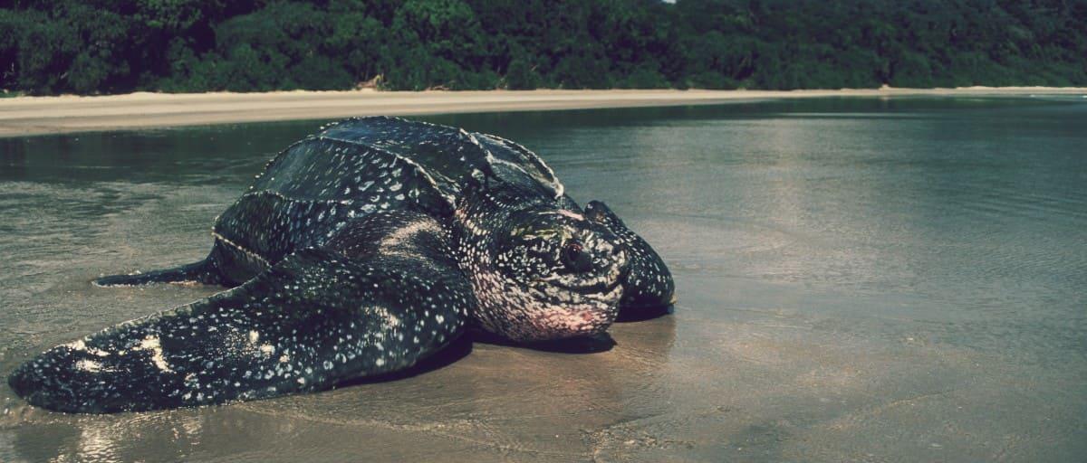 Tortuga Laúd (Dermochelys coriacea), la segunda tortuga más grande del mundo.