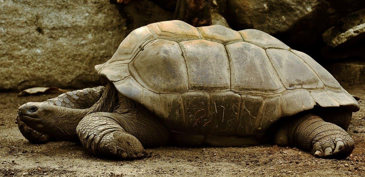 Tortuga Galápagos, la tortuga más grande del mundo.
