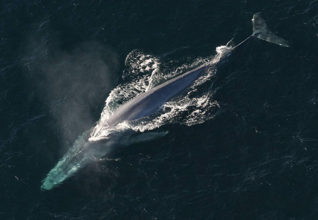 Ballena azul (Balaenoptera musculus), oficialmente la ballena más grande del mundo