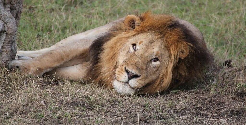 León, el segundo felino más grande del mundo