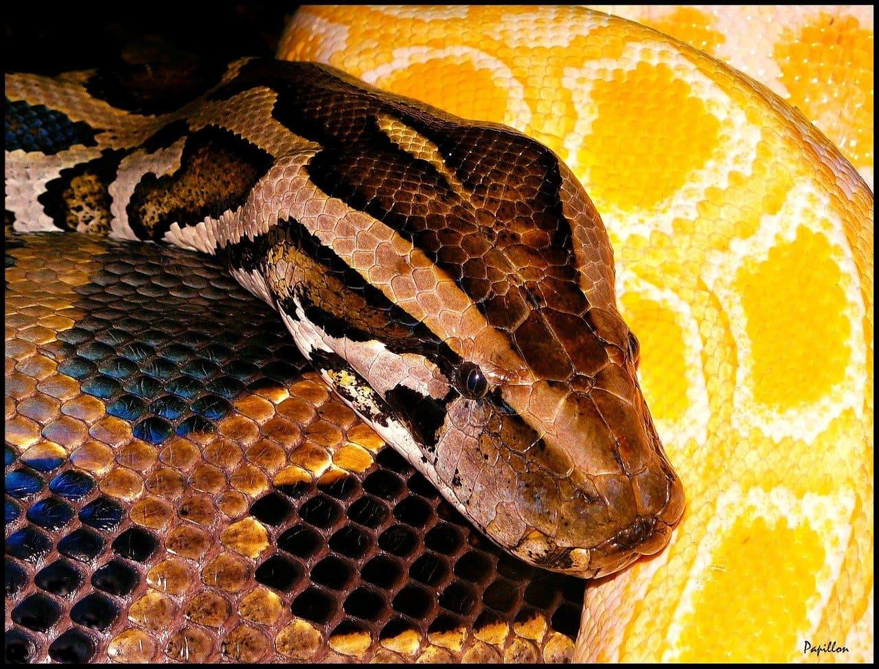 Pitón de Seba (Python sebae)