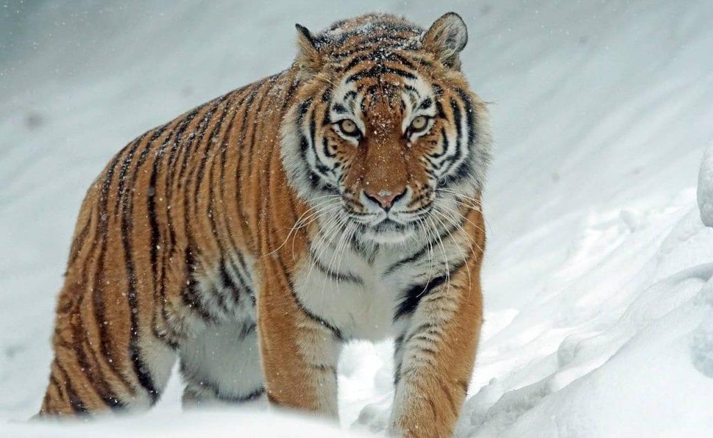 Tigre, el felino más grande del mundo