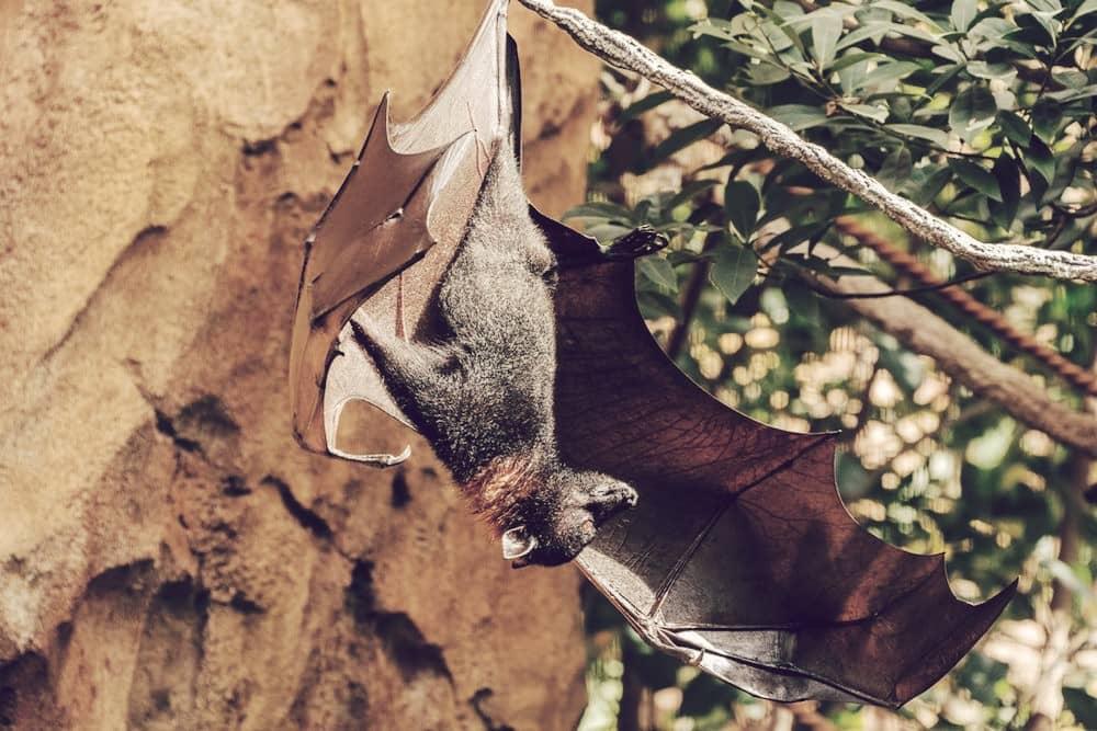 Zorro volador filipino, el murciélago más grande del mundo