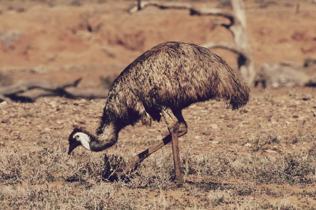 Dromaius novaehollandiae, la segunda ave más grande del mundo