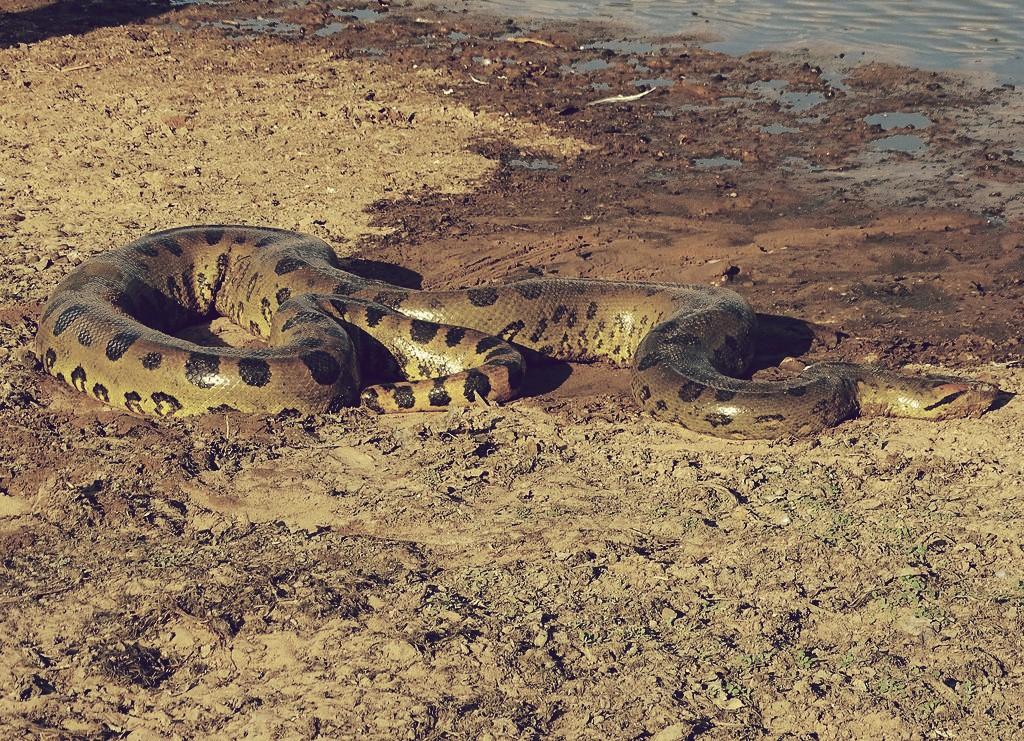 Anaconda verde, una de las anacondas más grandes del mundo