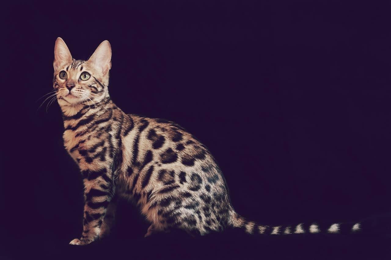 Gato de Bengala, uno de los gatos más hermosos y grandes del mundo
