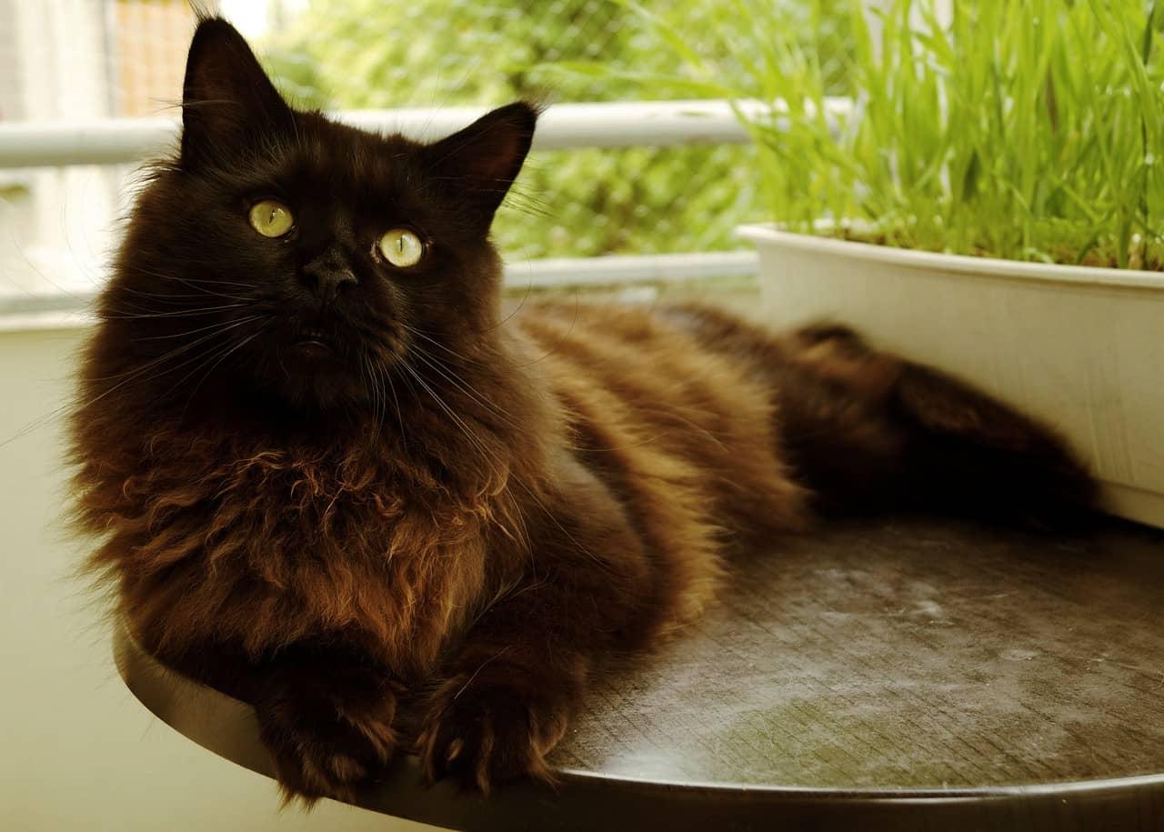Maine Coon, el gato más grande del mundo