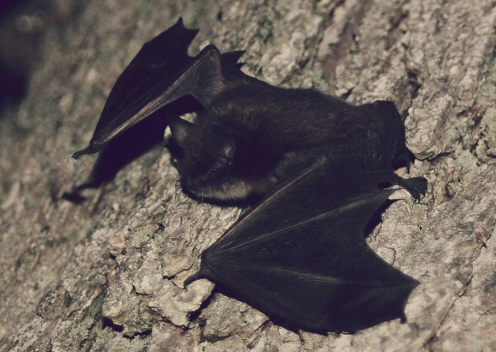 Pequeño murciélago café