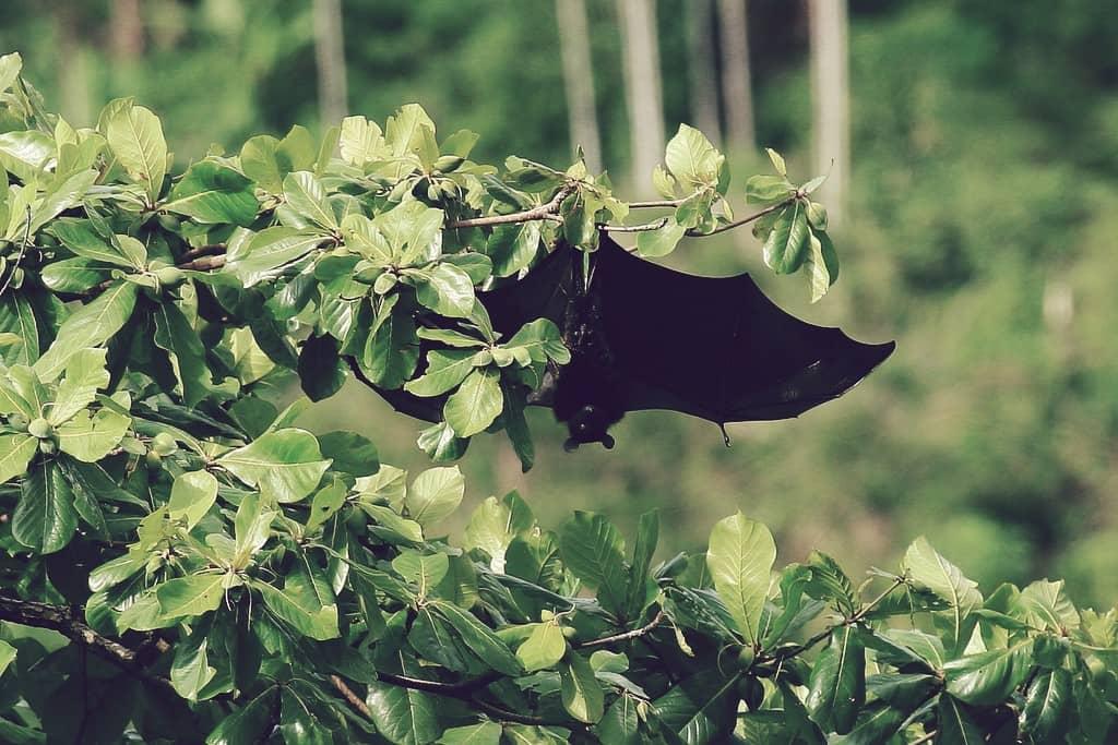 frugívoro de Livingstone, uno de los murciélagos más grandes del mundo