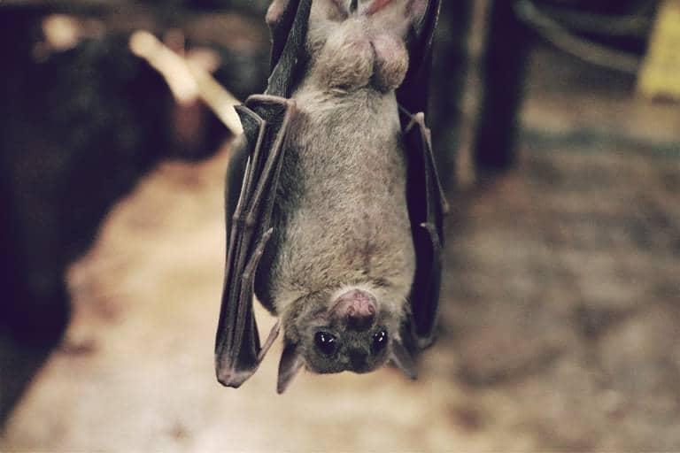 Zorro volador de las Marianas