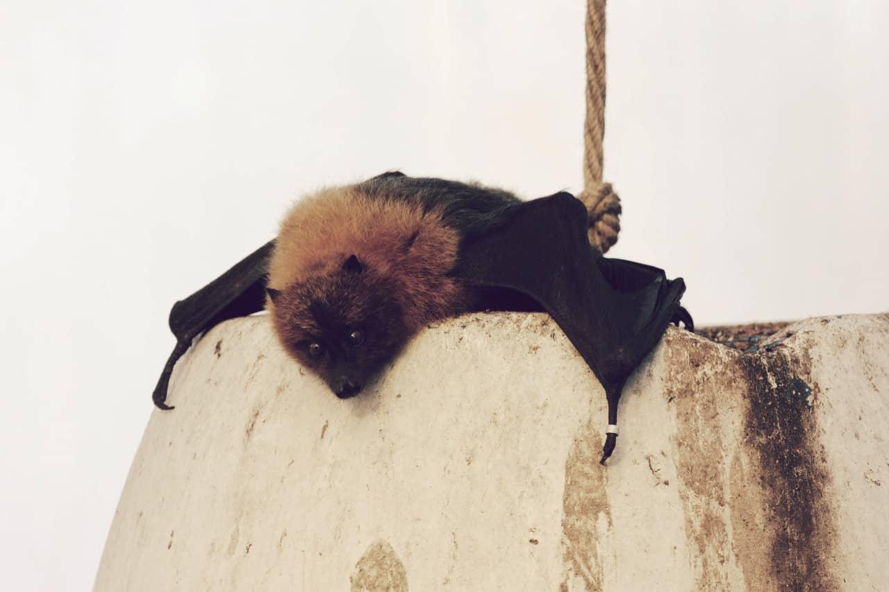 Murciélago frugívoro de Rodrigues