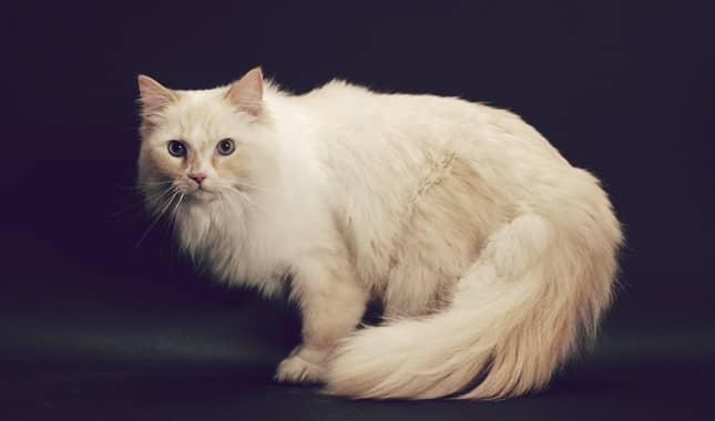 El bello gato Ragamuffin