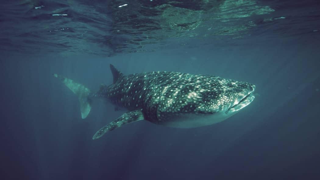 Tiburón ballena, el pez más grande del mundo