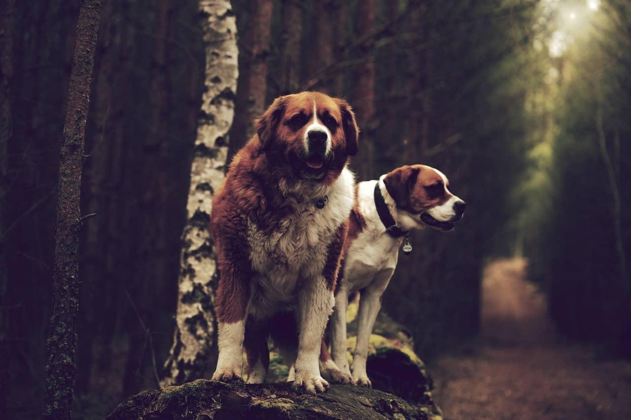 San Bernardo, uno de los perros más grandes del mundo