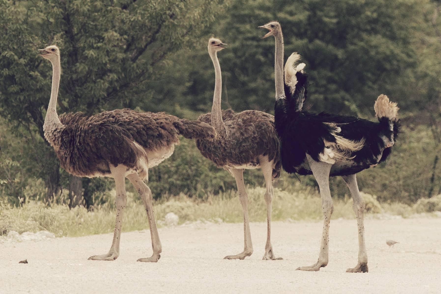 Avestruz (Struthio camelus), el ave más grande del mundo