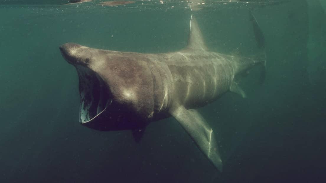 Tiburón peregrino, el segundo más grande del mundo