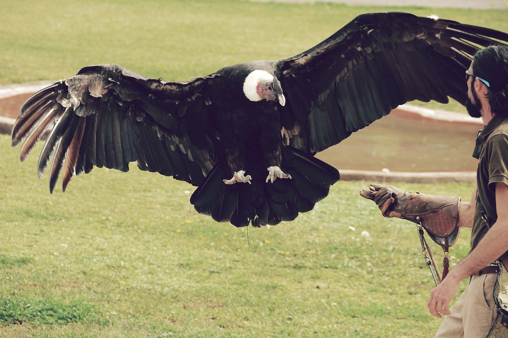 Cóndor andino (Vultur gryphus)