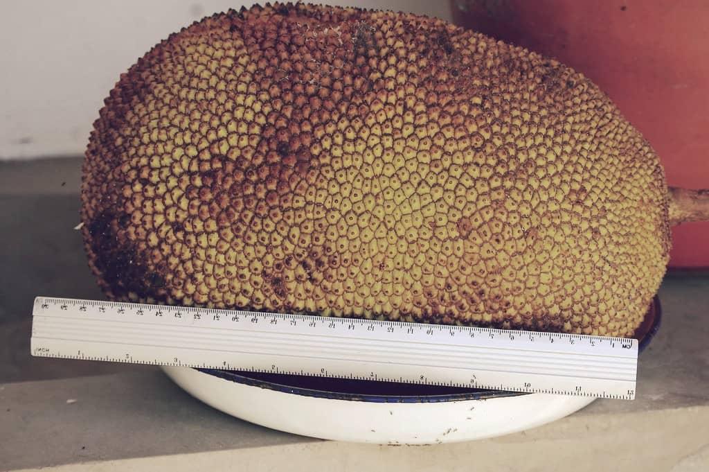 Yaca, la fruta más grande del mundo