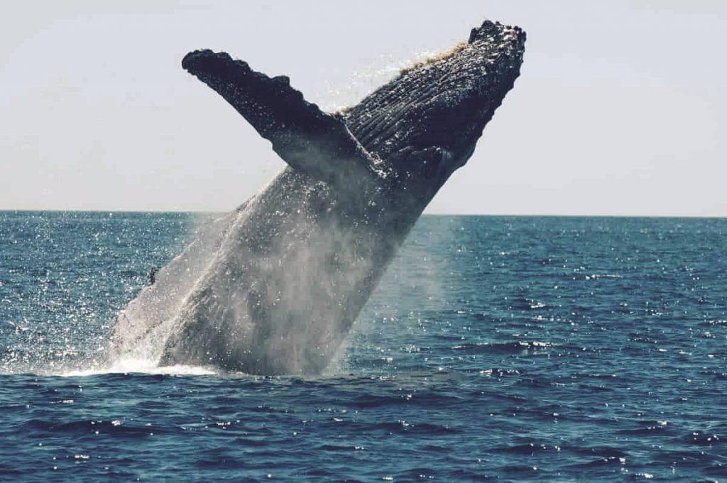 Ballena azul, el animal más grande de la historia