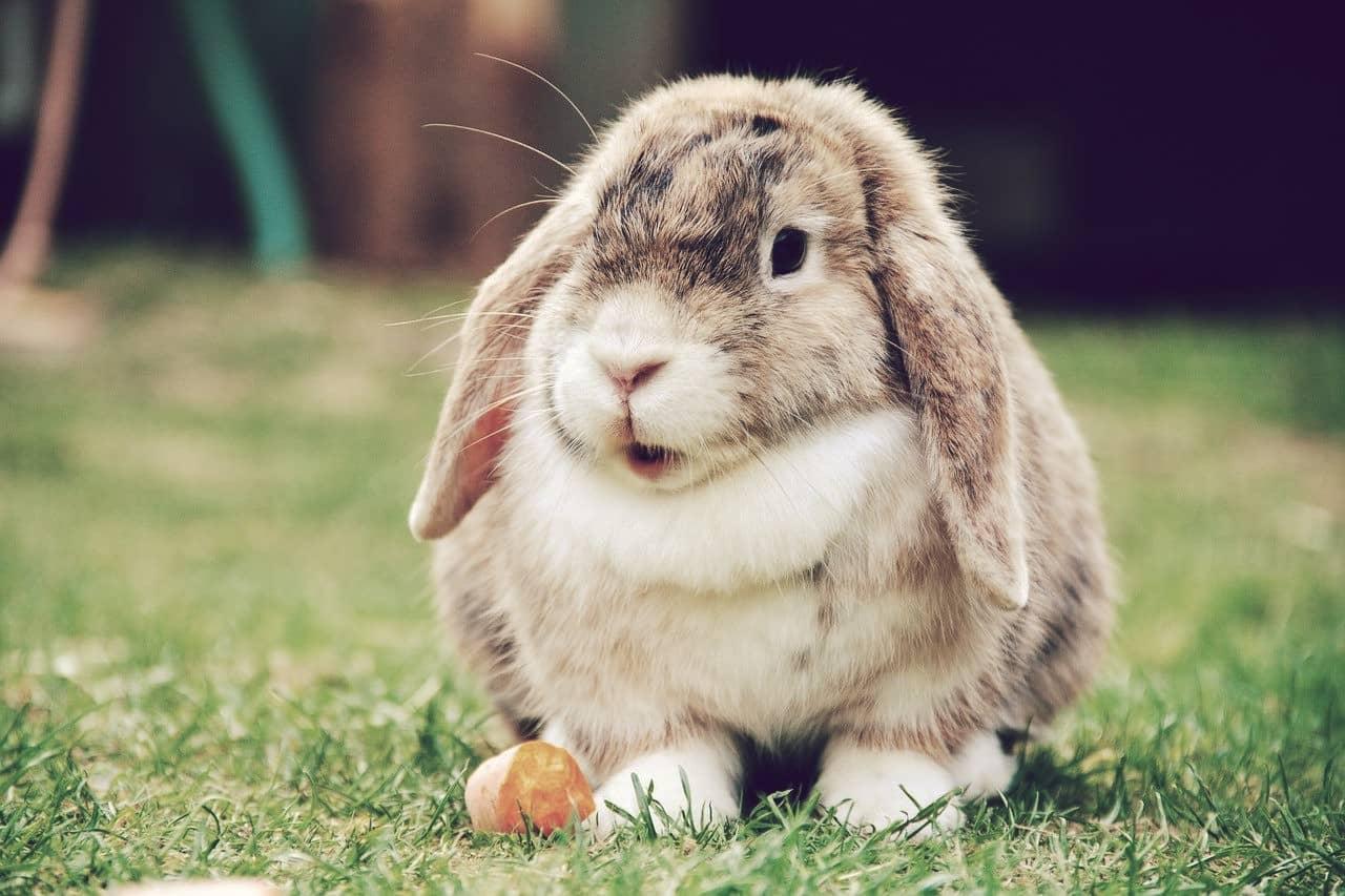 Belier francés, el 6to conejo más grande del mundo