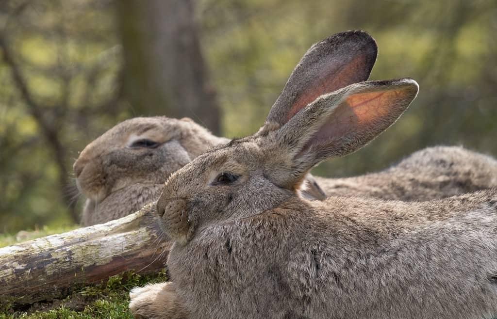 Conejo gigante de Flandes, el más grande del mundo