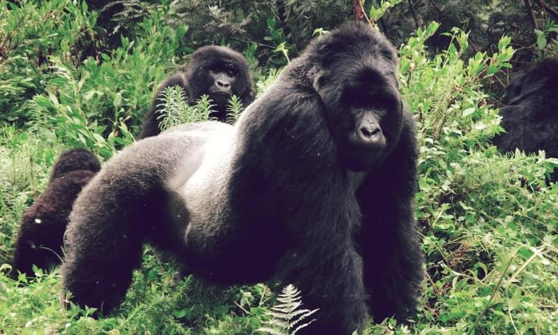 Gorila oriental de planicie, el más grande del mundo