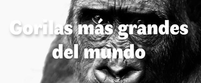 Los 6 gorilas más grandes del mundo
