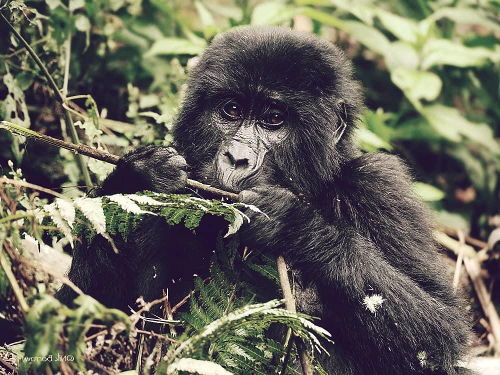 Gorila oriental, el segundo más grande del mundo