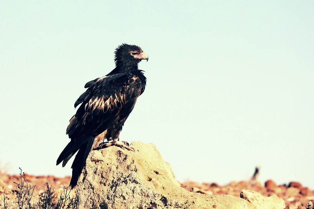 Águila audaz