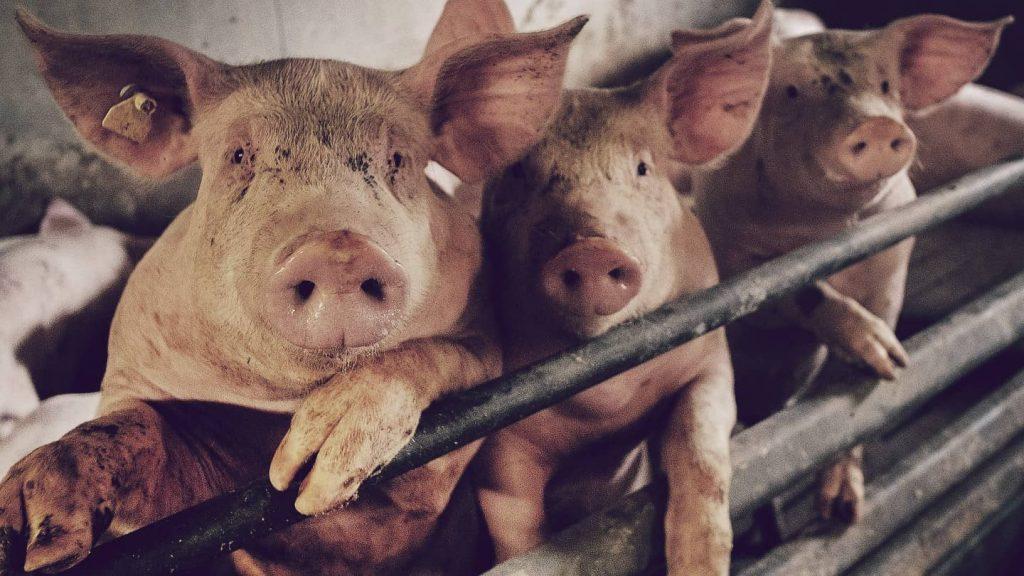 La Gripe porcina, una de las pandemias más grandes y letales de la historia