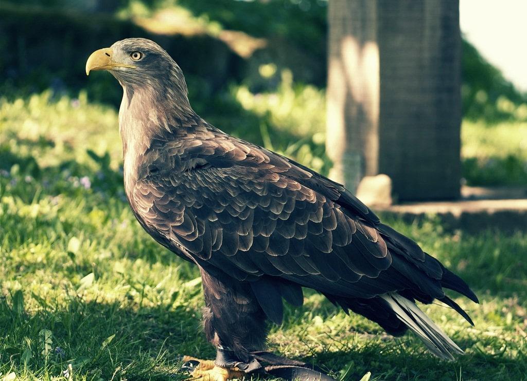 Pigargo europeo, una de las águilas más grandes del mundo