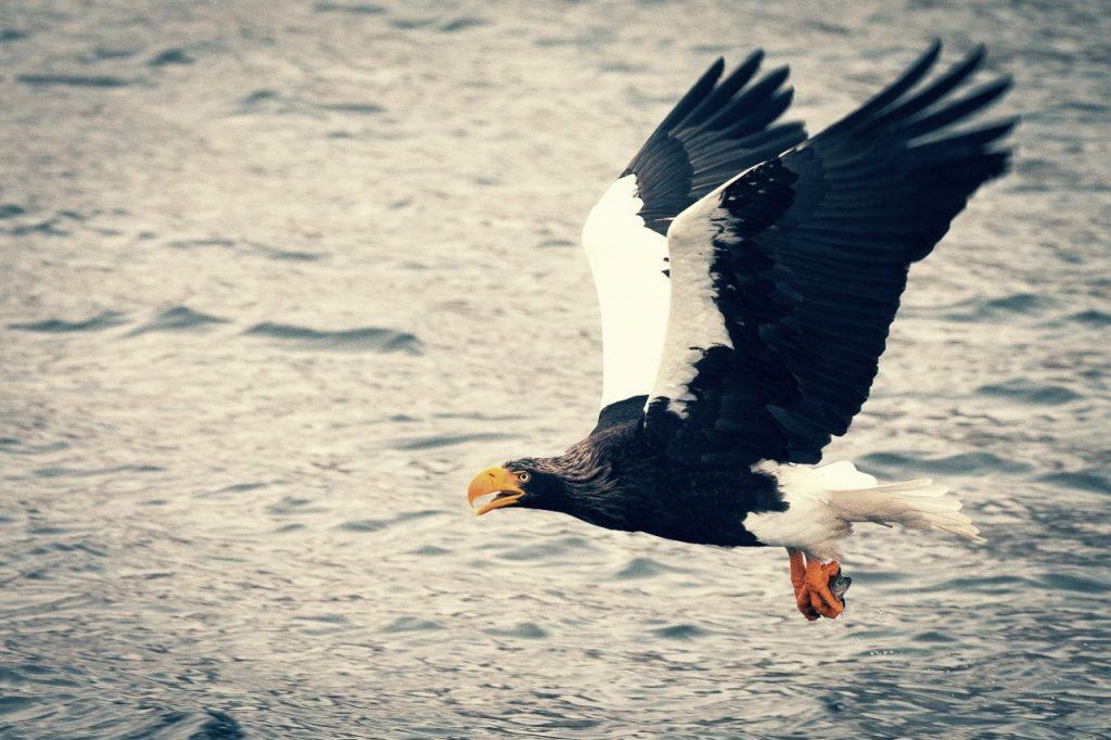 Pigargo Steller, el águila más grande del mundo