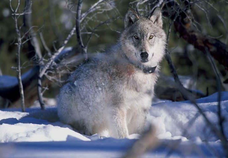 Lobo de la tundra