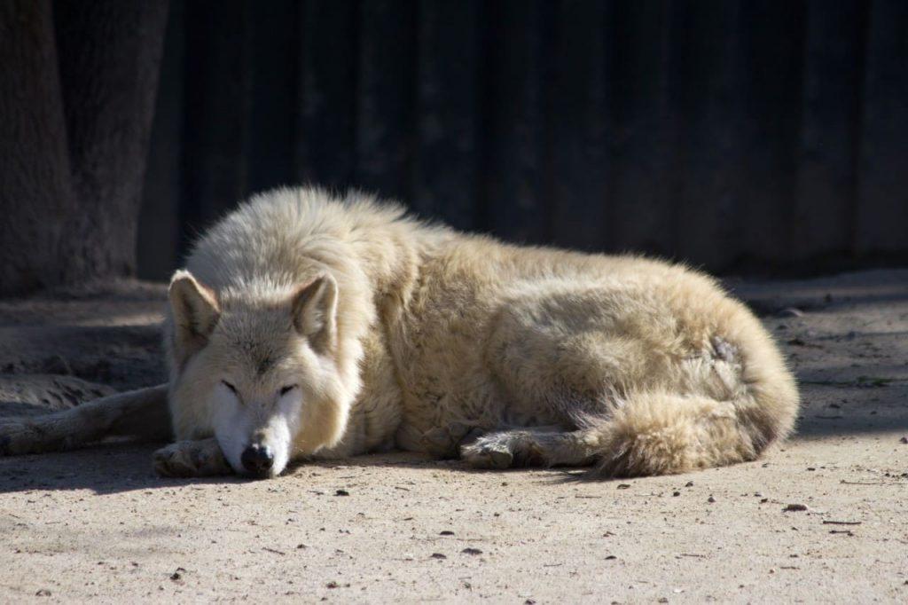 lobo de Mackenzie, el más grande del mundo