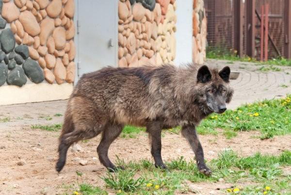 Lobo del Yukón, uno de los lobos más grandes del mundo