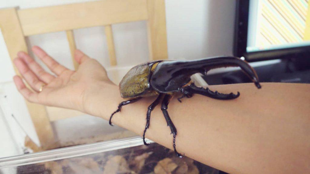 Escarabajo Dynastes