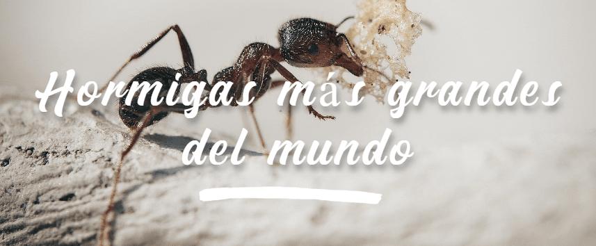 las hormigas más grandes del mundo