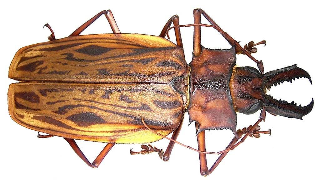Macrodontia es el escarabajo más grande del mundo