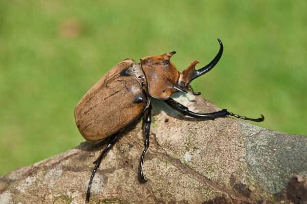 Escarabajo megasoma