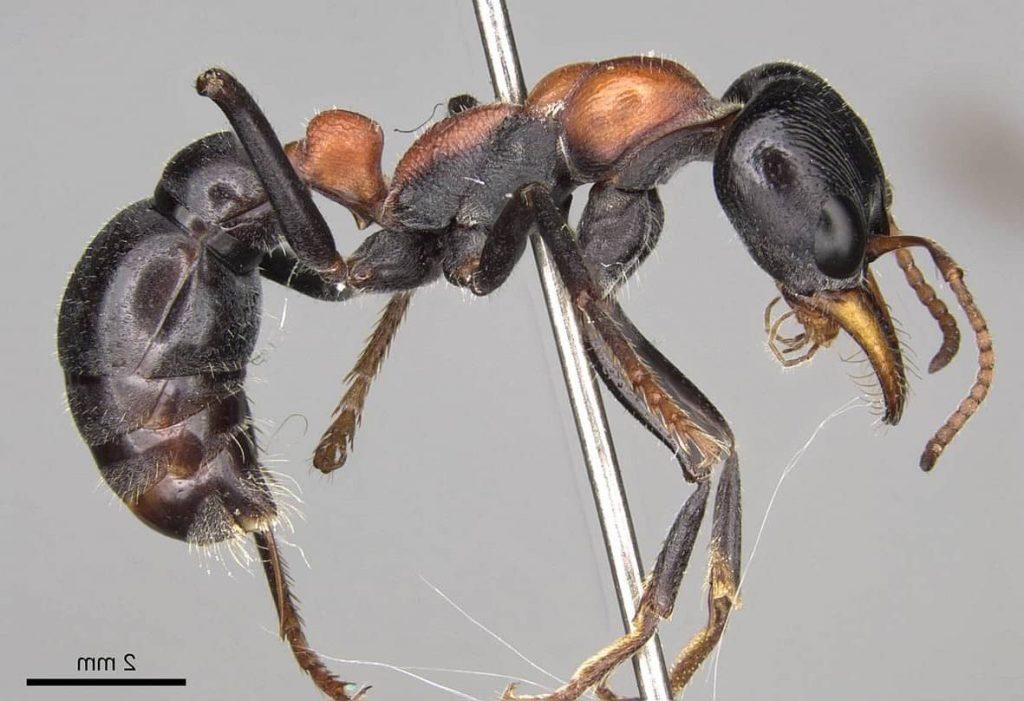 Hormiga bulldog, la más grande del mundo